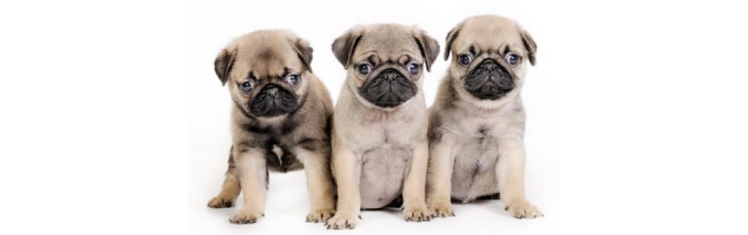 Caini Puppy/ Junior